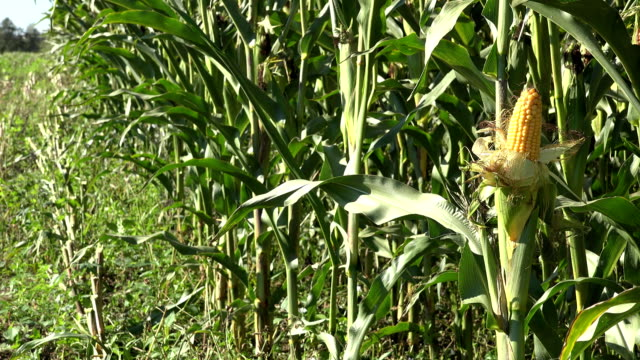 corncob harvest plant in farmland. Seasonal harvest time. FullHD video