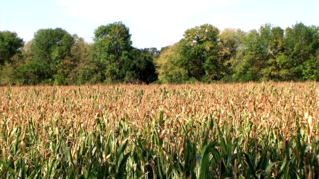 Cornfield Zoom Out During Summer (NTSC_link_below) video