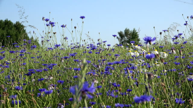 cornflower and daisy flowers and bees collect nectar from blooms. FullHD video