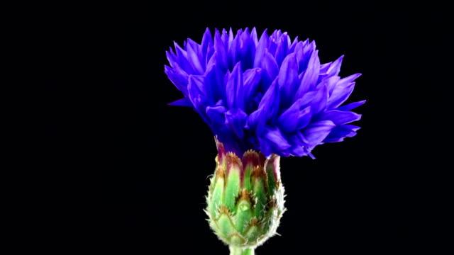 Cornflower blooming - Centaurea cyanus
