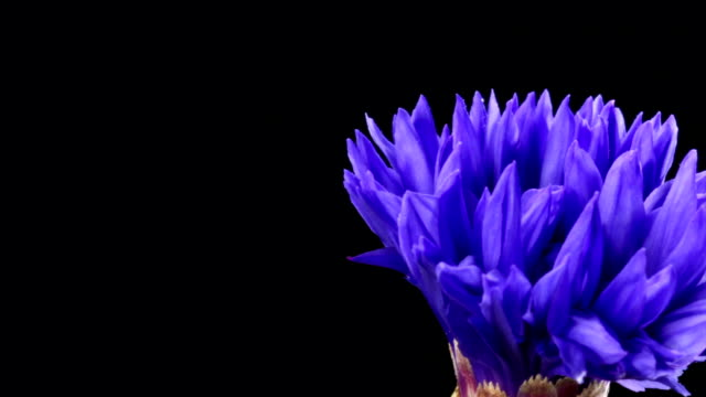 Cornflower blooming HD video