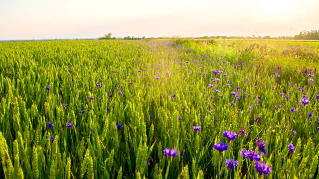 LS DS Cornflowers In The Wheat video