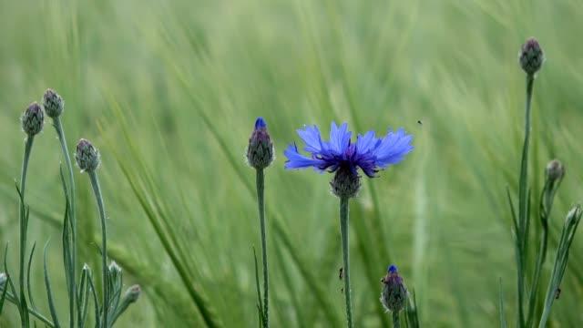 vídeos de stock e filmes b-roll de cornflowers with barley plants and ants, cyanus segetum, 4k - granadilha