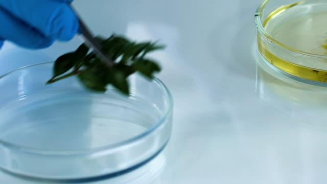 эксперт по косметологии размещает растение в чашке петри с маслом, делая экстракт - expert стоковые видео и кадры b-roll