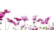 istock Cosmos field. Flower garden. 1333321372