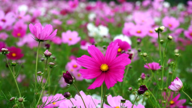 Cosmos field in full bloom