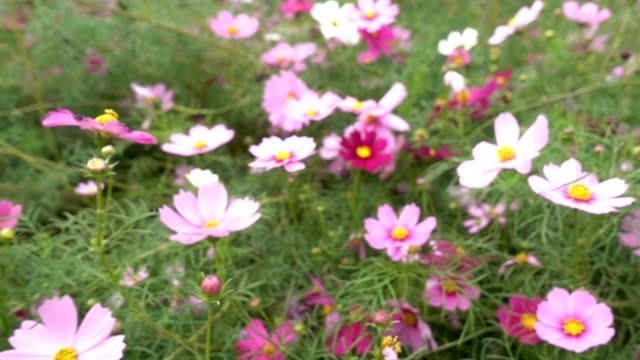 Cosmos field in slow motion video