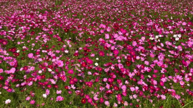 Cosmos blomma fält video