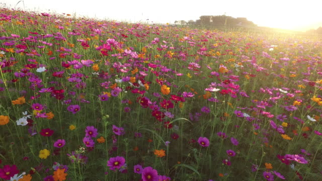 cosmos flower fields in sunset - einzelne blume stock-videos und b-roll-filmmaterial