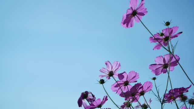 vídeos de stock e filmes b-roll de cosmos flower moving by the wind on blue sky background. - violeta flor