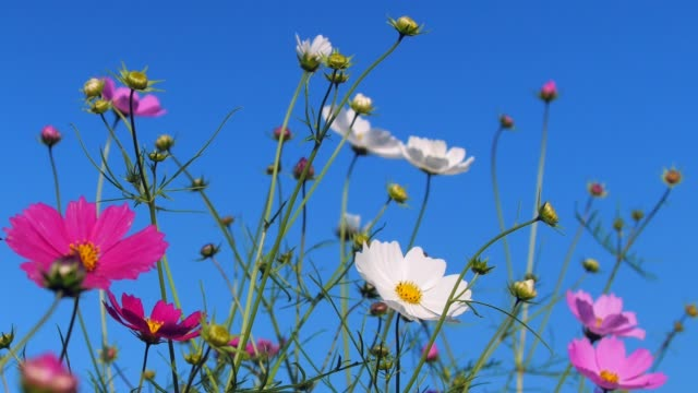 Cosmos flower shaking with wind in Hokkaido