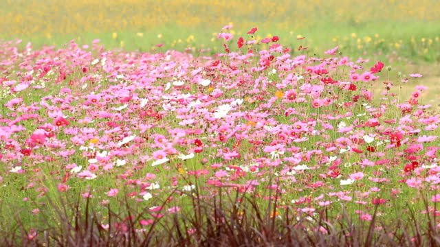Cosmos flower video