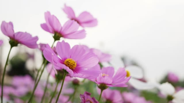 Cosmos flower with copy space.