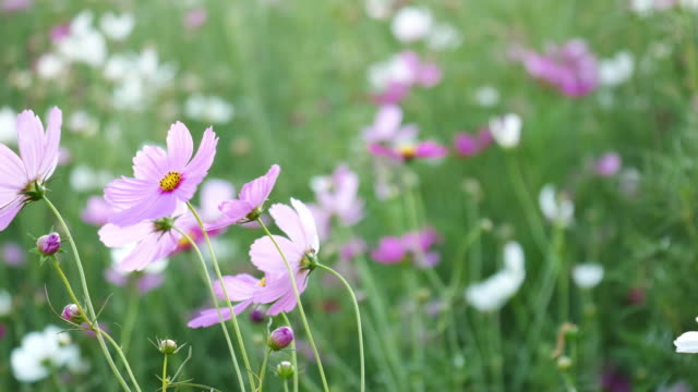 Cosmos flower with the wind.