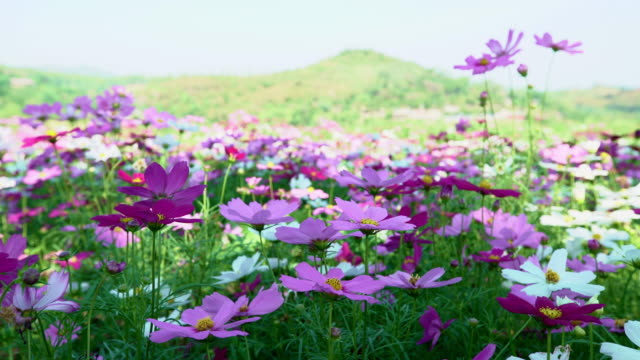 Cosmos Flowers Field in front of mountain spring time video
