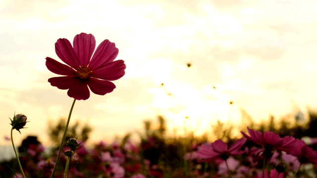 Cosmos flowers in the light of the Sun sets. video