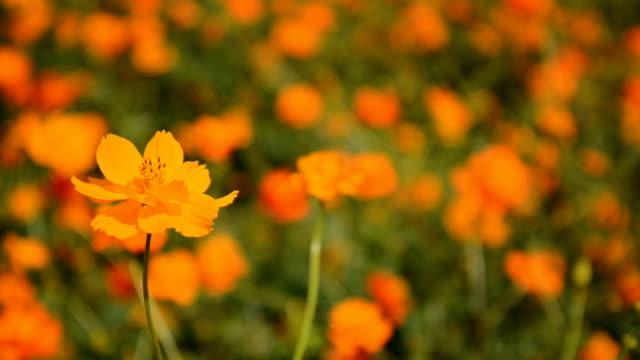 Royalty free cosmos flower hd video 4k stock footage b roll istock cosmos flowers in yellow gold video mightylinksfo