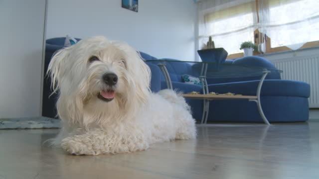 hd :coton de トゥリアル犬でも階 - ビションフリーゼ点の映像素材/bロール