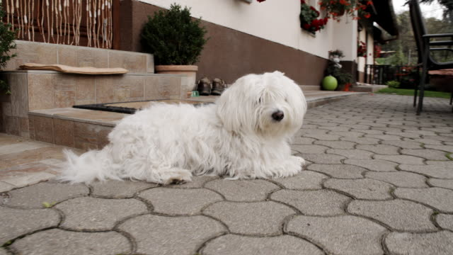 ws coton de tulear sdraiati sul patio - bichon frisé video stock e b–roll