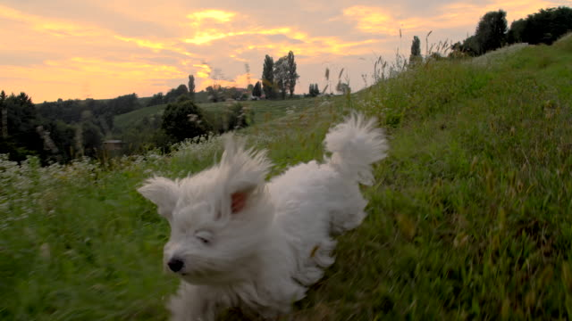 WS Coton de Tulear Running In The Grass video