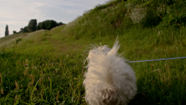 SLO MO Coton de Tulear Running In The Grass HD1080p: SLOW MOTION Camera Stabilization Shot of a Coton de Tulear dog running in a meadow. The footage was shot in raw. leash stock videos & royalty-free footage