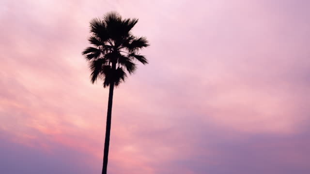 Cotton Candy Palm Tree