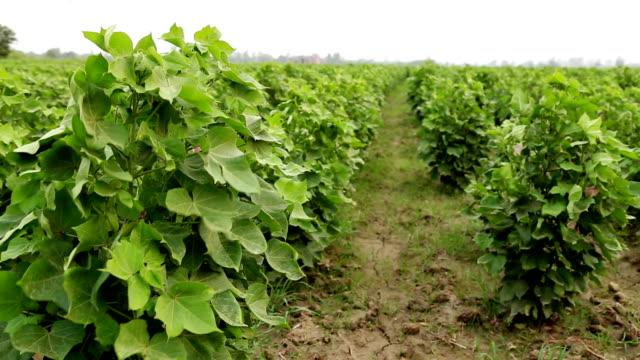 Cotton Crop Field video