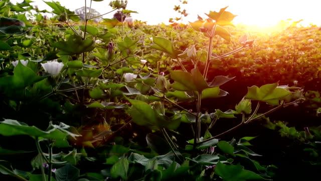 bomulls grödor svajar genom vinden utomhus i naturen - cotton growing bildbanksvideor och videomaterial från bakom kulisserna