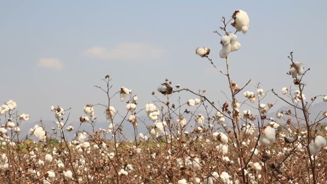 cotton farms video
