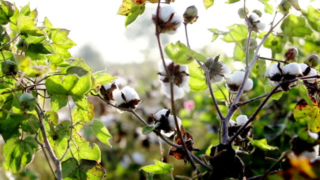 Cotton Field Close up in Early Morning video