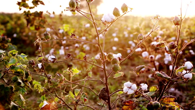 bomullsfält under sunrise hdr-bild - cotton growing bildbanksvideor och videomaterial från bakom kulisserna