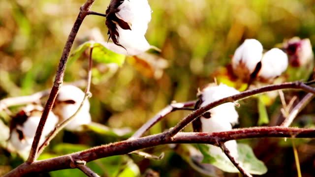 bomull fält under solnedgången hdr bild närbild - cotton growing bildbanksvideor och videomaterial från bakom kulisserna