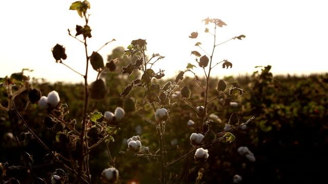 bomullsfält under solnedgången hdr-bild - cotton growing bildbanksvideor och videomaterial från bakom kulisserna