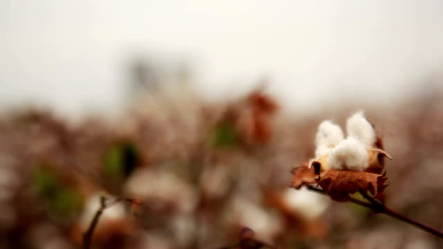 Cotton field near power station video