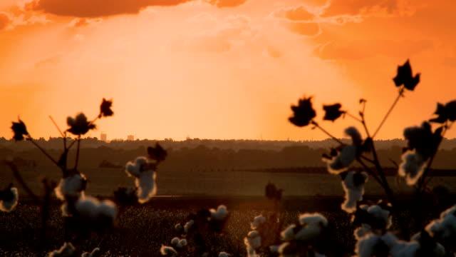 cotton field sunset - cotton growing bildbanksvideor och videomaterial från bakom kulisserna