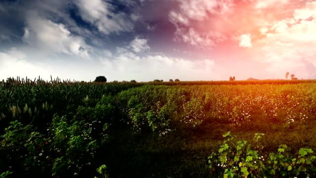 Katoen veld onder het prachtige cloudscape video