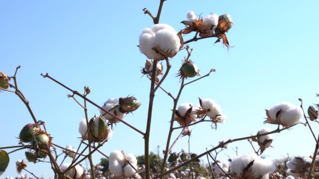 bomullsfält - cotton growing bildbanksvideor och videomaterial från bakom kulisserna
