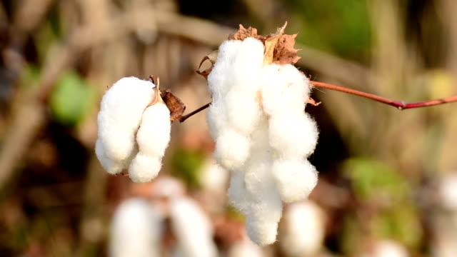 Cotton Field video