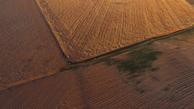 Cotton fields ready for harvesting at sunset in autumn, Texas, USA. Looking-down video showing a regular pattern, agricultural-themed video background. Aerial drone footage with the tilting-up camera motion. - vídeo
