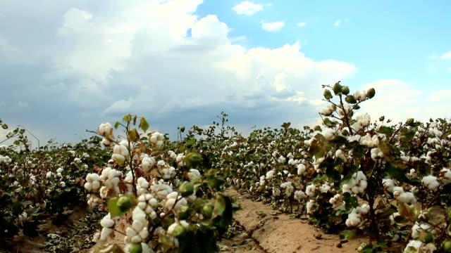 Cotton Fields Time Lapse video