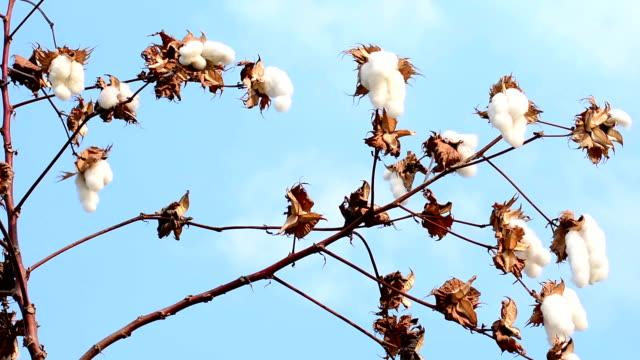 cotton flower - cotton growing bildbanksvideor och videomaterial från bakom kulisserna