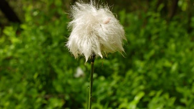 Cotton grass in Bavarian forest video