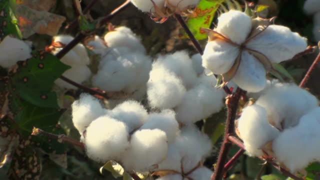 cotton harvest - cotton growing bildbanksvideor och videomaterial från bakom kulisserna