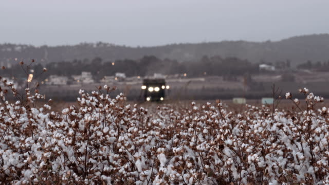 vídeos de stock e filmes b-roll de cotton harvester during cotton harvest in a field at sunset - colher atividade agrícola