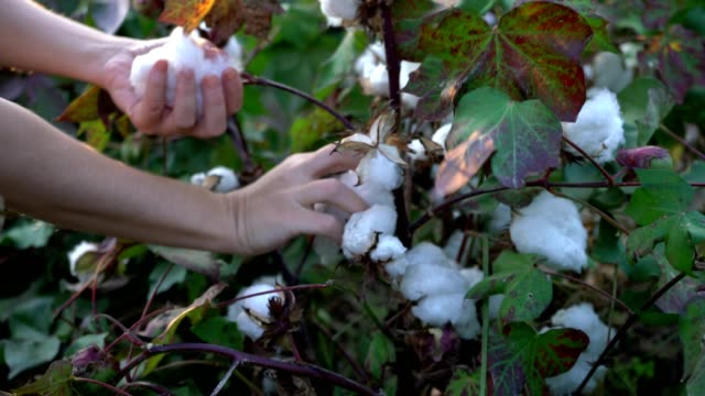 vídeos de stock e filmes b-roll de cotton harvesting. female turkish harvester working in blooming cotton field, manual labor concept 4k - algodão