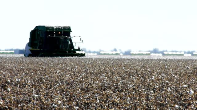 bomull skörd - cotton growing bildbanksvideor och videomaterial från bakom kulisserna