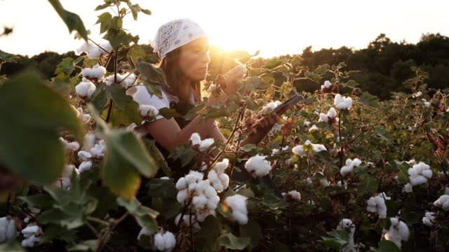 Cotton picking season. Blooming cotton field, young woman evaluates crop before harvest, under a golden sunset light.