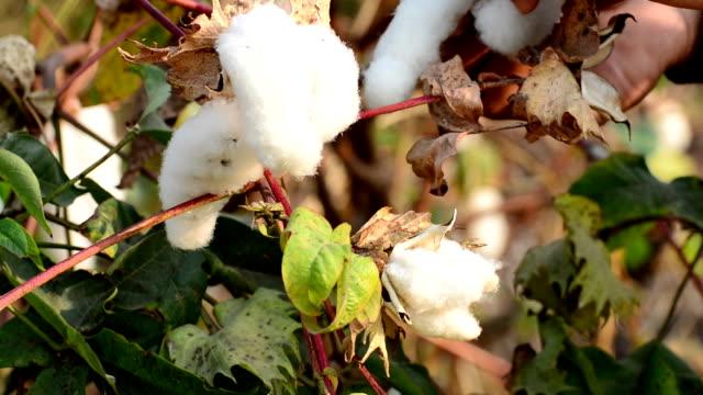 Cotton Picking video