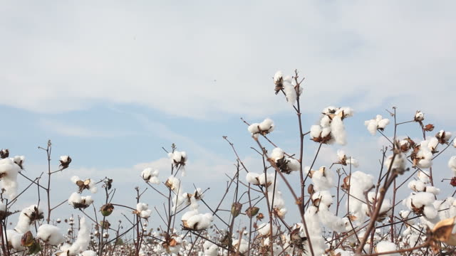 cotton plant field on sky - cotton growing bildbanksvideor och videomaterial från bakom kulisserna