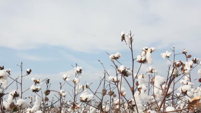 Cotton plant field on sky video